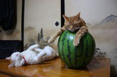 和む猫。   A!@attrip