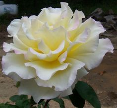 cc  linda rosa sem nome.