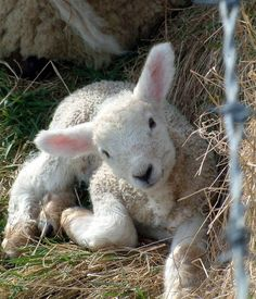 Spring lamb. She is not food. She wants to live. Examine what you have been tought to tolerate. If you wouldnt dream of eating a dog why do you dream of eating a lamb?