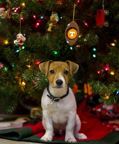 It's Scout's first Christmas! #dogs #pets #dog #Adopt #love #cute #animals #puppy