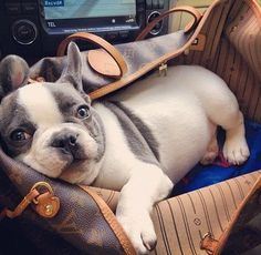 Blue eyed  frenchie. Such an adorable dog.