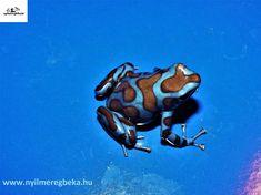 """Nyílméregbéka. Dendrobates auratus """"bronze-blue"""" (superblue)  Arany fakúszó béka """"bronz-kék"""""""