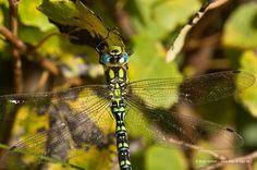 Blaugrüne Mosaikjungfer an Blatt I © birgit kolmer I biko-d-sign.de
