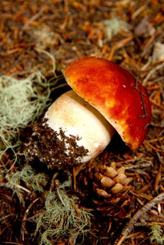 Boletus Edulis (aka king bolete, or porcini mushroom)