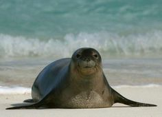 Scientists from the U.S. and Greece are working from opposite sides of the globe to save the Hawaiian (pictured here) and Mediterranean monk seals. The IUCN Red List of Threatened Species has declared both species to be critically endangered. Their relative, the Caribbean monk seal, has already gone extinct.  Look at that face :)