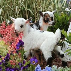 💖 – [ tags: – preliminary-today - Minimalism - get those liquids in! Cute Creatures, Beautiful Creatures, Animals Beautiful, Farm Animals, Animals And Pets, Baby Goats, Cute Little Animals, Animal Kingdom, Cute Babies