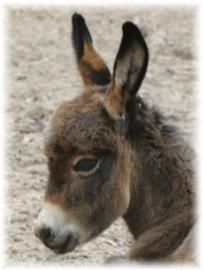 Miniature donkey care and education