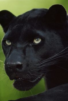 Black leopard, Panthera pardus, Native to Africa and Asia  Location:	Native to Africa and Asia  Photographer:	FRANS LANTING/ National Geographic Stock