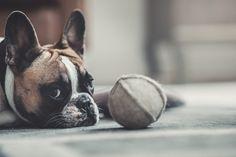 Denjo Dogs - Cloud7 Organic Felt Ball.   #dogtoy #dogball #feltball #organicwool #frenchbulldog #hundleksak #hundboll #ekologisk #franskbulldog Felt Ball, Dog Toys, Boston Terrier, French Bulldog, Organic, Interior, Dogs, Nature, Animals