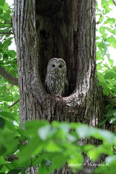 Owly and stuff — arnika43: Ural owl by Hitoshi.K