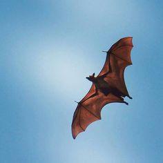 Captured by - @arunbabuthomas Be afraid be very afraid! #bat #photography #photooftheday #wingedbeast #photographers_of_india #naturesultans #streakphotographers #indiapictures #indianphotography #_soi #Incredibleindiaofficial __________ Hashtag - #indianphotography Follow - @indian.photography I.P  2016 Capturado por indian.photography