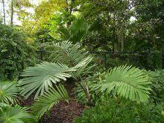 http://jungletropicale.com/2013/01/arenga-micrantha/    #jardinage #palmiers    Cliquer l'image pour lire l'article.