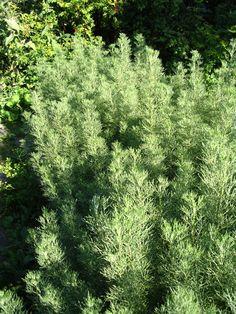 Citroenkruid een sterk ruikend kruid werkt insectwerend, bij gebruik moet men oppassen voor een te hoge dosis.