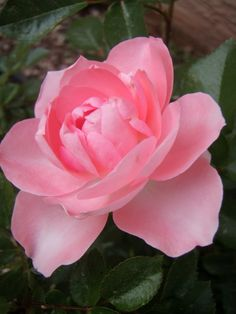 Beautiful rose from Cabin & Cottage