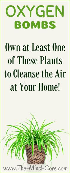 Place at Least One of These Powerful Plants to Cleanse the Air at Your Home! Place at Least One of These Powerful Plants to Cleanse [. Health And Wellness, Health Tips, Health Fitness, Women's Health, Health Facts, Natural Cures, Natural Healing, Apartment Plants, Apartment Ideas