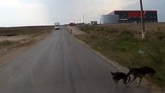 Heroic dog saves his friend from a car as the vehicle approaches the dogs on the side of the road, one of them is about to walk out, until the other reaches for his tail and pulls his mate backwards