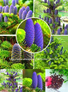 [Visit to Buy] 50 pcs Abies seeds,korean fir,Nordmann Fir (Christmas Tree, Conifer) seeds tree. House Garden bonsai plants and flowers seeds #Advertisement