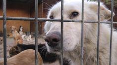 Der rumänische Staat hat seinen Straßenhunden den Kampf angesagt. Die Streuner werden gefangen und in schrecklichen Tierheimen getötet oder einfach verhungern gelassen. Mit  meinem 60-minütigen Dokumentarfilm will ich auf das Schicksal der Hunde aufm...