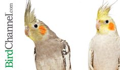 From cockatiel dust to cockatiel night frights, check out these 10 cockatiel must-knows.