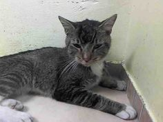 SAFE! LOTT - ID#A1013083-NYC ACC SUPER URGENT: I am an unaltered male, black tabby Domestic Shorthair. I am about 2 yrs old.I weigh 6 lbs. I was found in NY 11213.NO SIGN OF AGGRESSION AND VERY SWEET.email adoption@nycacc.org but ONLY if serious about adopting, and ONLY if you are able to GO TO the shelter in-person or call (212) 788-4000 for further automated instructions.  NEEDS OUT NOW-SUPER URGENT!