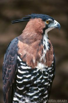 ornate hawk eagle - Google Search