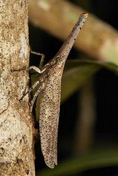 Lantern Fly (Zanna chinensis, Fulgoridae)