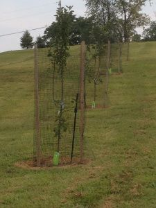 Learning our lesson from last year - all of our orchard trees are now covered with deer fencing for the fall, winter and early spring months...