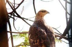 Friendly Neighbourhood Birders: The Long Legged Buzzard