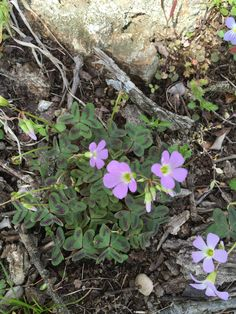 Violet Wood Sorrel.   April 2016