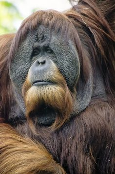 The adorable and majestic Orangutan: a great ape native to Indonesia and Malaysia Primates, Mammals, Majestic Animals, Rare Animals, Animals And Pets, Funny Animals, Beautiful Creatures, Animals Beautiful, Male Orangutan