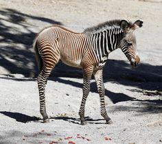 Baby Zebra - Savanna