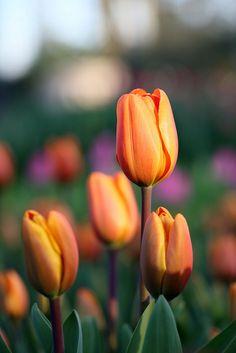 orange tulips in the field