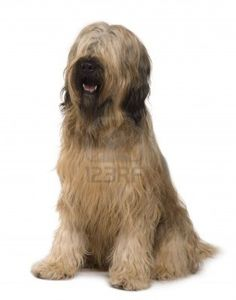 http://us.123rf.com/400wm/400/400/isselee/isselee1002/isselee100200637/6379133-briard-dog-14-months-old-sitting-in-front-of-white-background.jpg