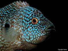 Bluefaced Herichthys carpintis