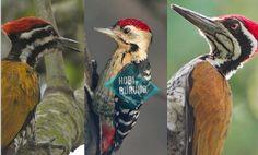 Seputar Burung Pelatuk Lengkap, Jenis, gambar dan suaranya