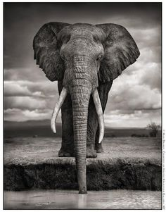 IGOR. ELEPHANT DRINKING, AMBOSELI, 2007. KILLED BY POACHERS, 2009. by Nick Brandt