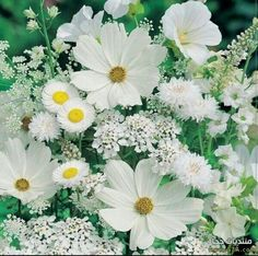 Beautiful for an all white Moon Garden.Cosmos, Allyssum, Queen Anne's Lace, Daisy, Scabiosa - the perfect combination I've been looking for. Can always rely on floral inspiration from My Flower, White Flowers, Beautiful Flowers, Happy Flowers, Cosmos Flowers, Cactus Flower, Exotic Flowers, Fresh Flowers, Simply Beautiful
