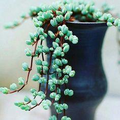 Lampranthus maximiliani | beads lampranthus Potted Plants, Planting Succulents, Succulent Pots, Air Plants, Cacti And Succulents, Planting Flowers, Garden Plants, Indoor Plants, Outdoor Gardens