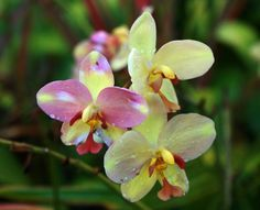 Common Name: Spathoglottis Orchid Scientific Name: Spathoglottis Description: Spathoglottis orchids are one of