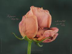 Rose Baby - Anne Geddes