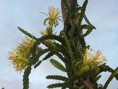 DragonFly Garden: Is it Orchid Cactus or Cactus Orchid??