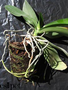 Orchidea átültetése - A phalaenopsisok - és úgy általában az orchideák - átültetésével kapcsolatban sokan azt a nézetet vallják, hogy a legjobb tavasszal átültet... Salvia, Aloe Vera, Outdoor Gardens, Fall Decor, Plant Leaves, Plants, Gardening, Scrappy Quilts, Sage