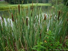 It is said that if a lost person has found cattails, they have four of the five things they need to survive: Water, food, shelter and a source of fuel for heat