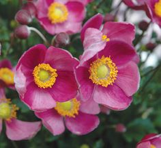 Anemone 'Pretty Lady Diana' Japanese anemones are among the latest-blooming perennials, giving gardeners4 an alternative to mums, asters, and sedums. This new introduction from Blooms of Bressingham is an unusually compact, sturdy selection with deep pink flowers. It needs no staking and blooms heavily in September and October. Flower stems reach about 16 inches tall. Thrives in full sun to part shade. Hardy in USDA Zones 5-9.