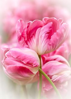 One Million Tulips Tulips Garden, Parrot Tulips, Tulips Flowers, Flowers Nature, Pretty Flowers, Pansies, Planting Flowers, Garden Pictures, Watercolor Flowers