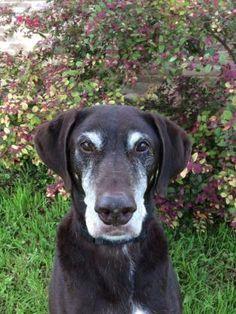 Petango.com – Meet Major, a 8 years 4 months Retriever, Labrador / Greyhound available for adoption in SAN ANTONIO, TX