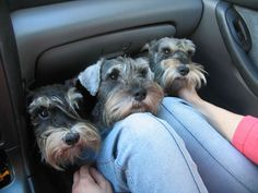 Car full of schnauzers, yes pleeasee!! : ))