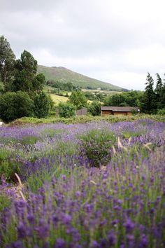Lavender Harvest Sale, Kilmacanogue, county Wicklow (Ireland) // The Art of Exploring