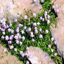 * Mazus reptans - takes foot traffic, very low ground cover