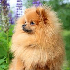 In this article we are going to take an honest look at the Pomeranian. Finding out all about his temperament, care and health.